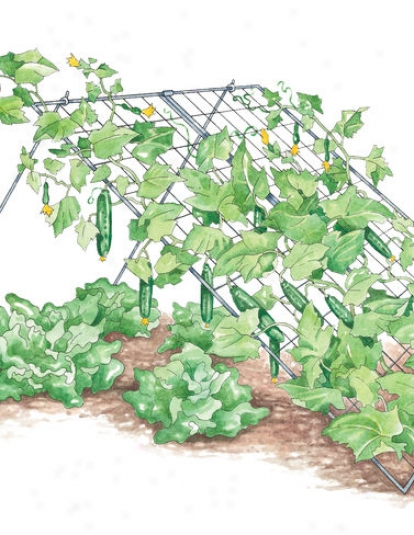 Cucumber Trellis, Medium