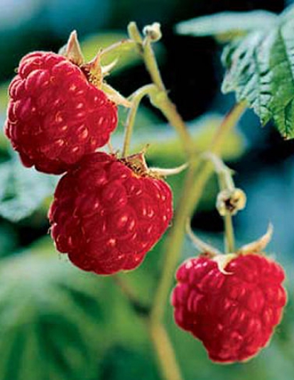 Heritage Red Raspberries, 5 Caned