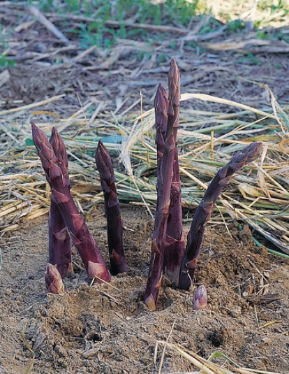 Purple Passion Asparagus, 25 Crowns