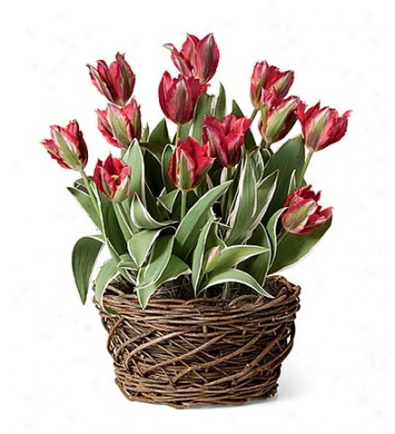 Hollywood Tulips Best part Bulb Garden By the side of Rattan Basket