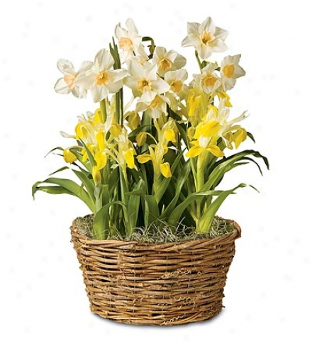 Narcissus And Yellow Iris Flower Bulb Garcen