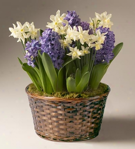 Purple Hyacinths And White Daffodils Bulb Garden In A Reusable Basket